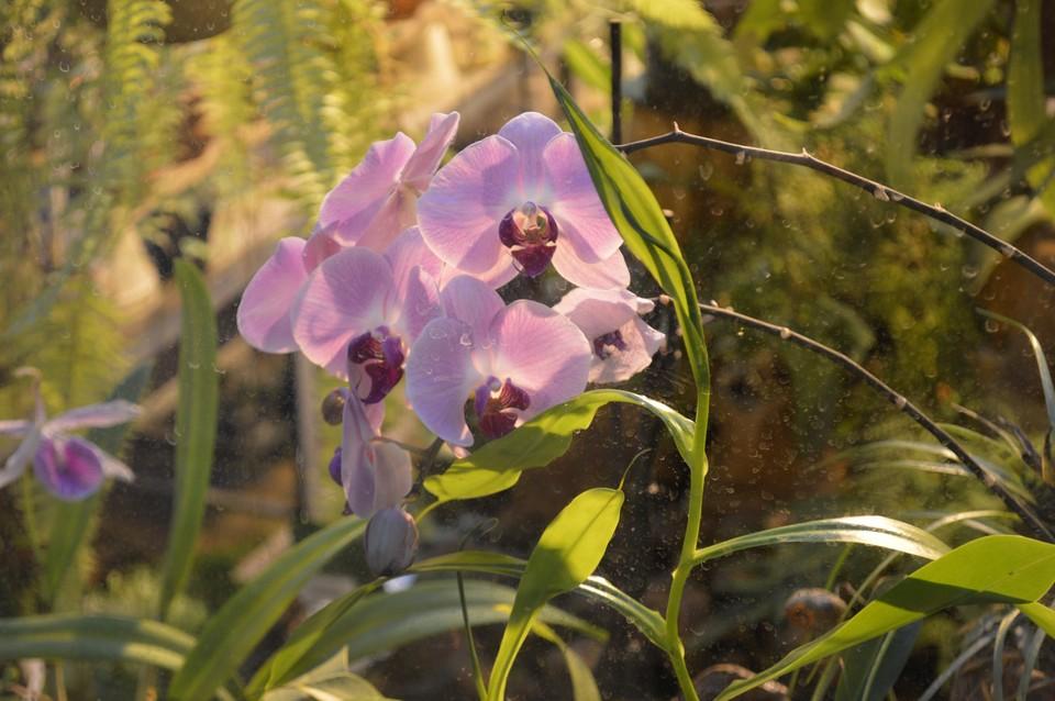 Селекционерами выведено 250 тысяч сортов орхидей. Самая крупная - «Венерин Башмачок»