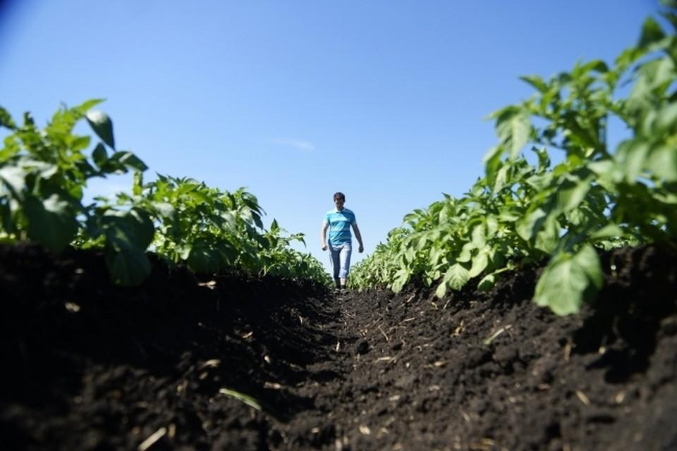 Картофель из Беларуси пройдет агроиспытания в Приморском крае
