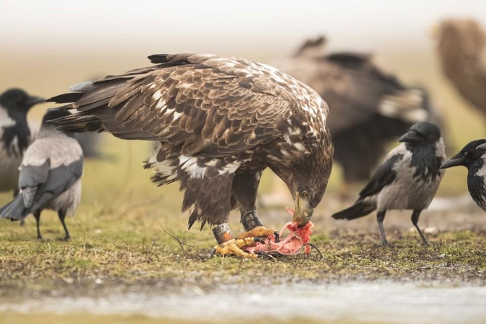 Окольцованную птицу из Беларуси заметили в Венгрии - вот куда улетел зимовать орлан-белохвост! Фото: Венгерский центр кольцевания птиц.