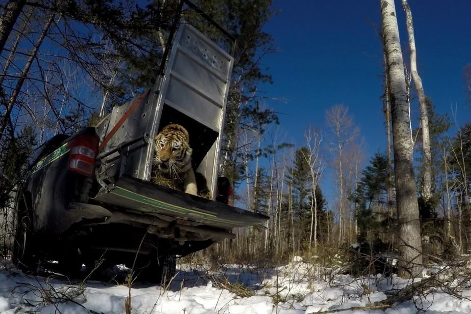 """Тигрицу, пойманную в Приморье, отпустили на волю в январе 2021 года. Фото: пресс-служба """"Центр """"Амурский тигр"""""""