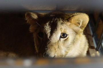 Цирк уехал: в поселке под Ростовом трое львиц месяц заперты в холодной фуре