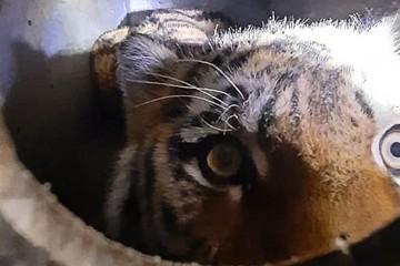 Тигры по улицам ходят. Краснокнижный хищник месяц держал в страхе село в Приморье