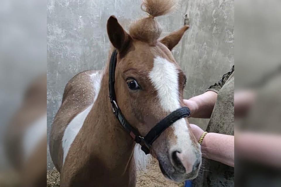 Врачи быстро пролечили пони, чтобы его выступления не сорвались. Фото: ветеринарная клиника «Интерра».