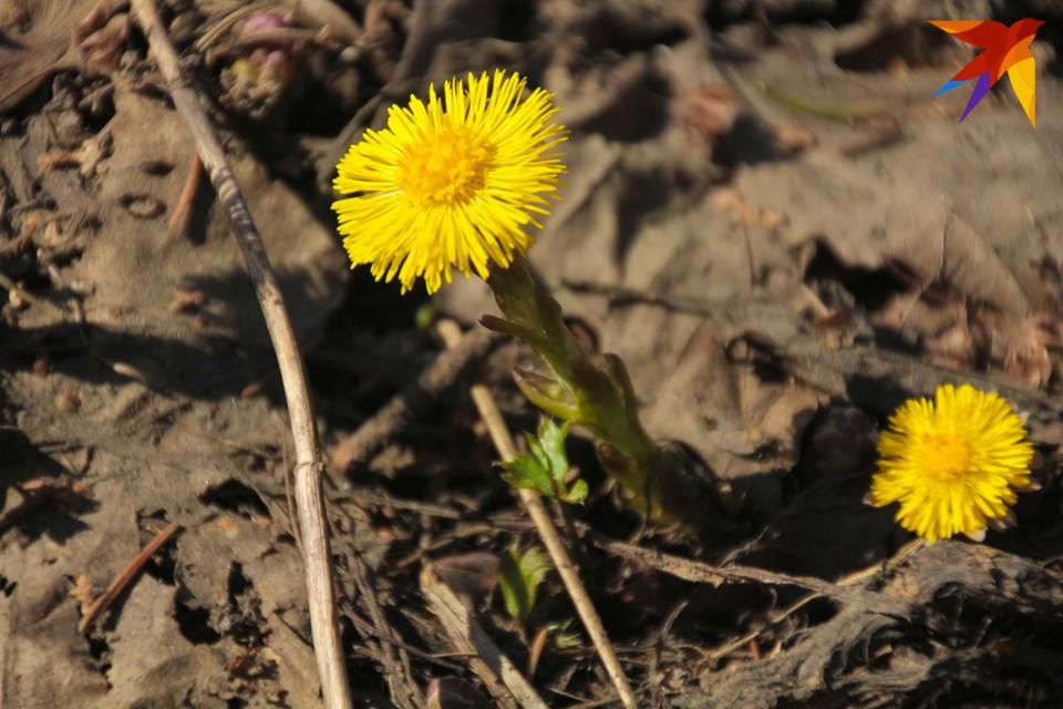 Прямо под ногами появляются маленькие солнышки - цветы мать-и-мачехи.