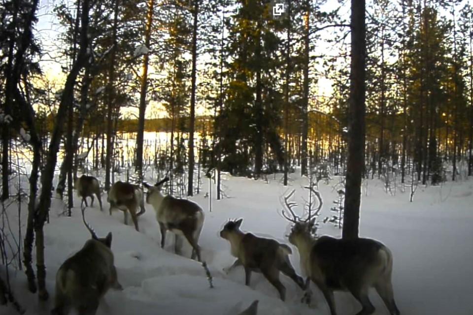 На территории Лапландского заповедника живет около 800 особей оленей. Фото: скрин видео