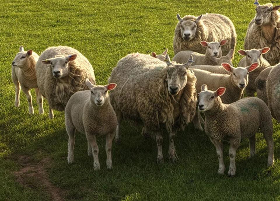 В Тульской области задержана преступная группа, занимавшаяся кражей овец и баранов