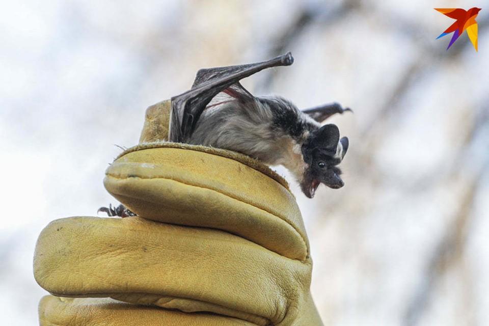 Больше 40 летучих мышей в выходные на Цнянке выпустили на волю после зимовки