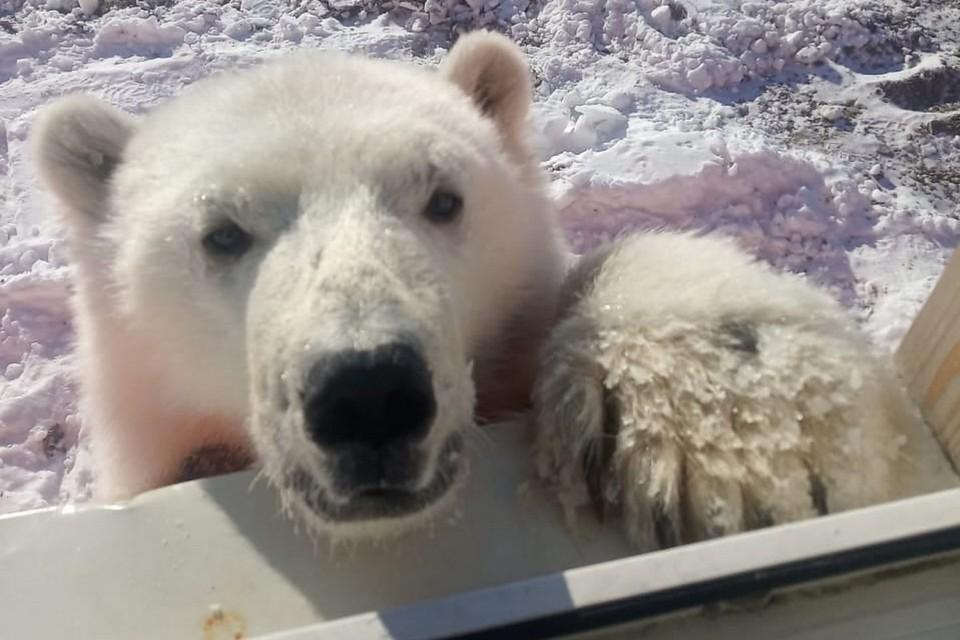 На севере Красноярского края вахтовики спасли белого медвежонка. Фото: страница на Фейсбуке Андрея Горбаня