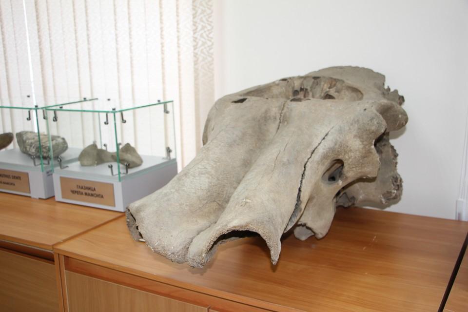 В ДальГАУ один из самых примечательных экспонатов - это череп мамонта