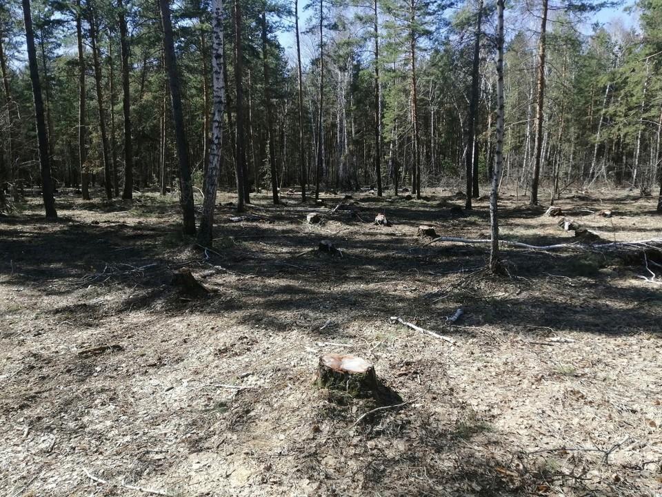 На этой полянке одни пеньки от срубленных деревьев.