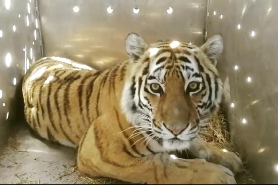 Отловленная тигрица. Фото: Центр Амурский тигр