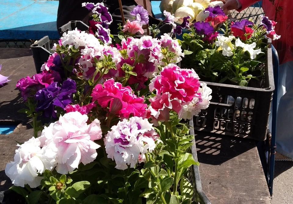 Куряне смогут приобрести на ярмарке цветы и рассаду