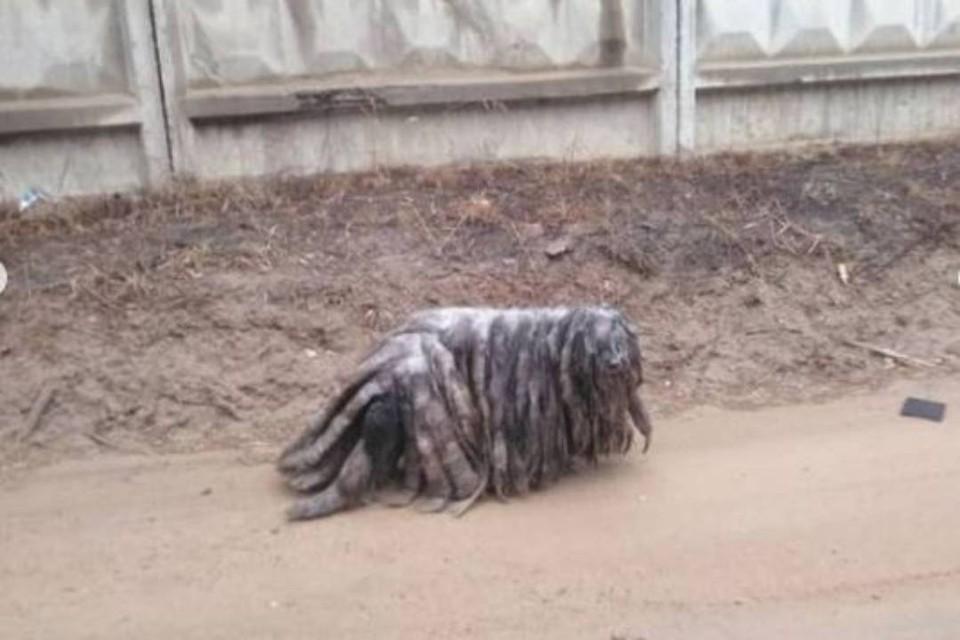 """""""Это что за чудовище?"""": в Бурятии волонтеры спасают собаку от собственной шерсти"""