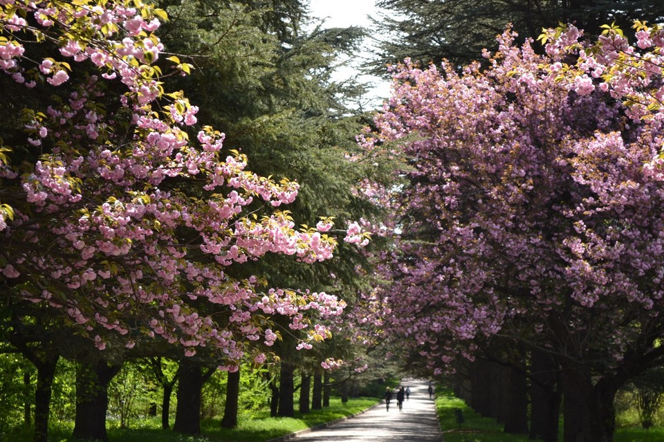 Сакура цветет всего одну неделю в году. Фото: Ботсад КФУ