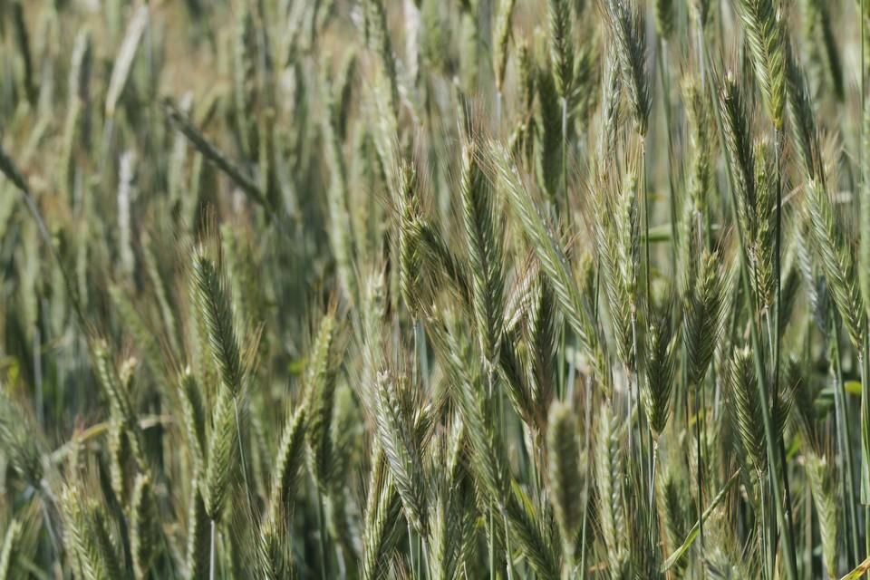 урские аграрии завершили сев ранних яровых зерновых культур