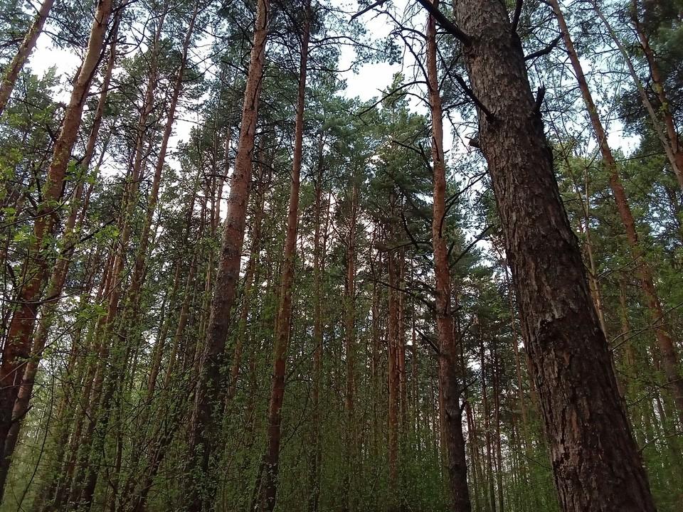 В Муравленко расследуют незаконную вырубку деревьев