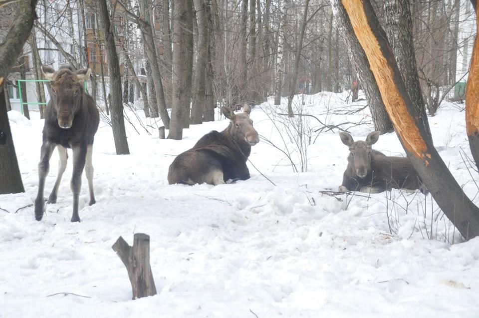 Больше всего рогатых обитает в Кольском районе – 3243 особи.