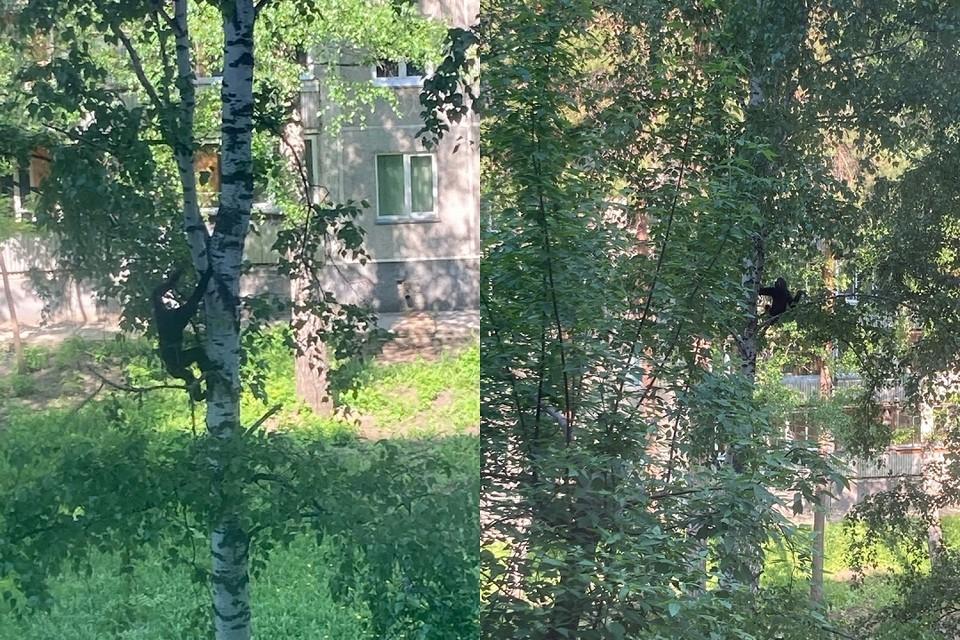 Обезьянка прыгала по березам в Академгородке. Фото: предоставлено Ириной Соловьевой.