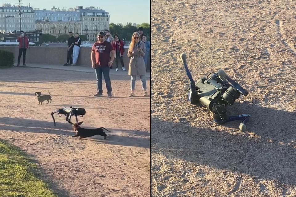 В Петербурге таксы сцепились с роботизированным псом на глазах у сотни прохожих. Фото: tiktok.com/@evaandsonya