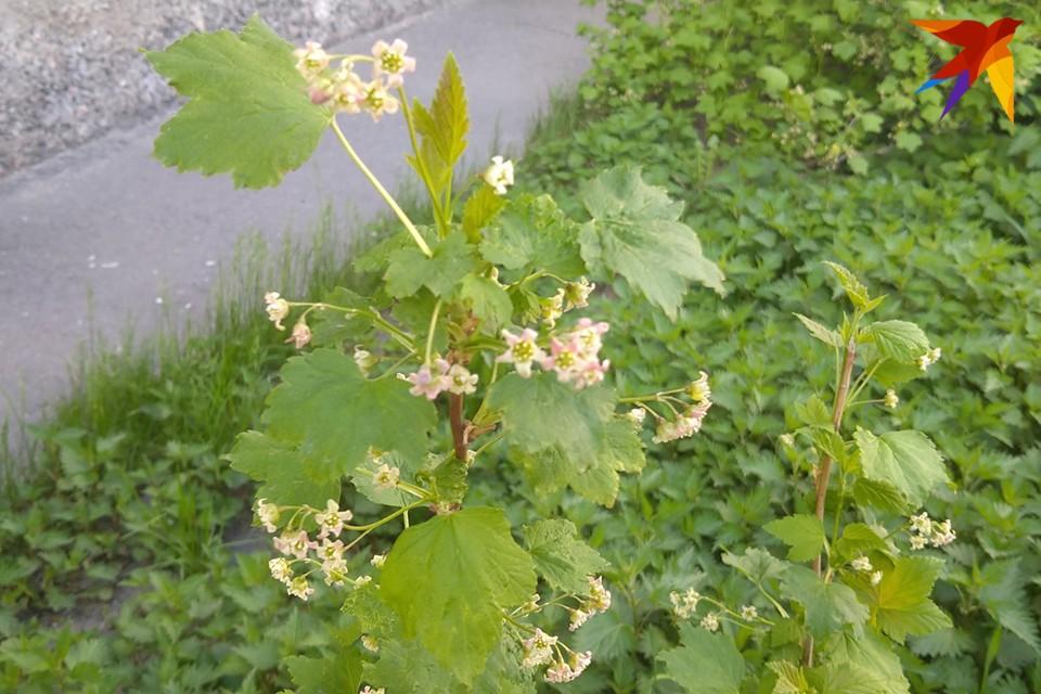 Пока в других регионах уже давно все цветет, в Мурманской области даже листики на деревьях пока не очень распустились.