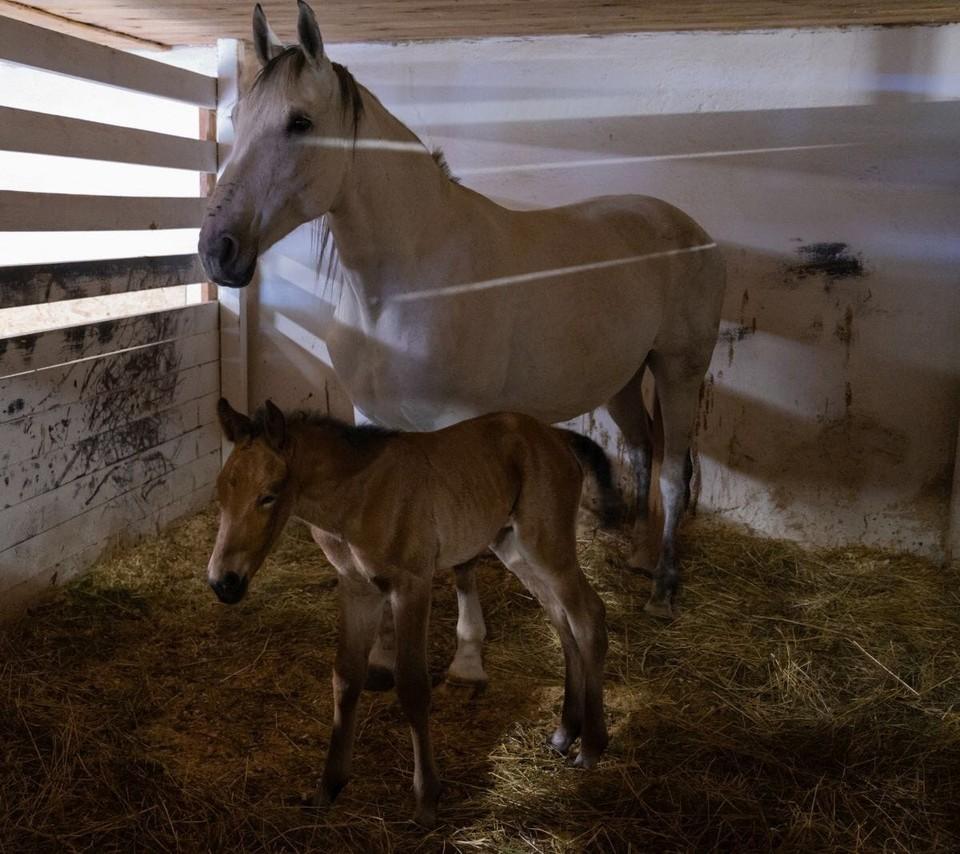 На конном дворе музея-заповедника «Спасское-Лутовиново» родился жеребенок. Фото: пресс-служба усадьбы Тургенева
