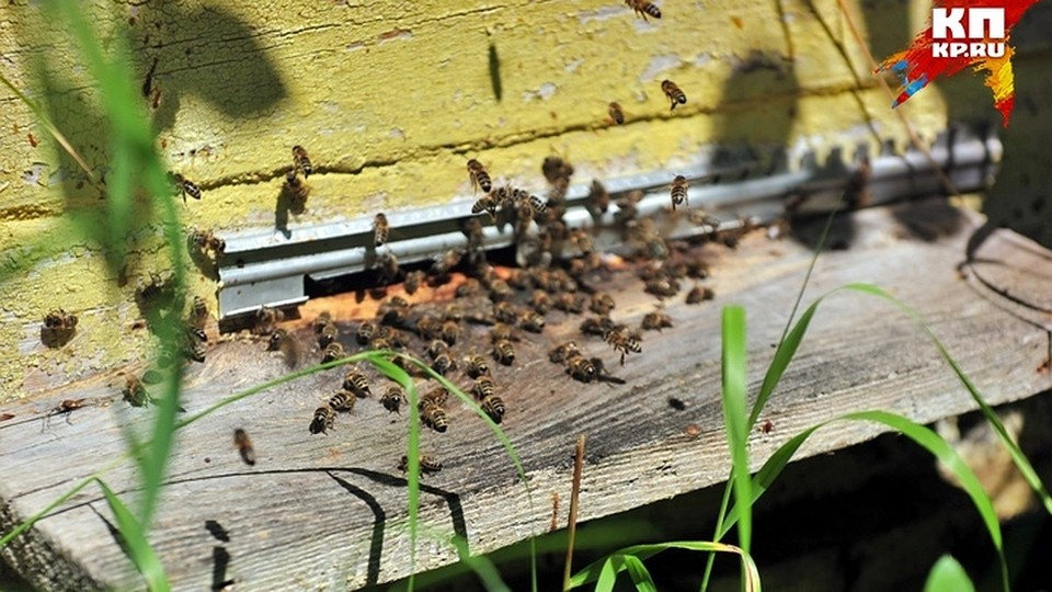 В Россельхознадзоре сообщили, что по состоянию на 7 июня поступило 31 обращение по поводу гибели пчел.