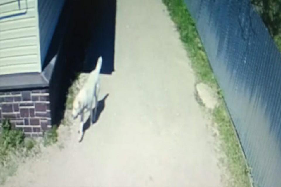 Алабай бегал по улице без присмотра Фото: ТИА