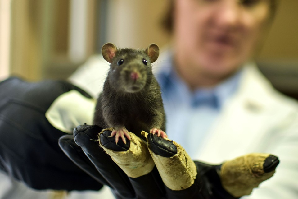 У привитых мышей потомства было на треть больше.