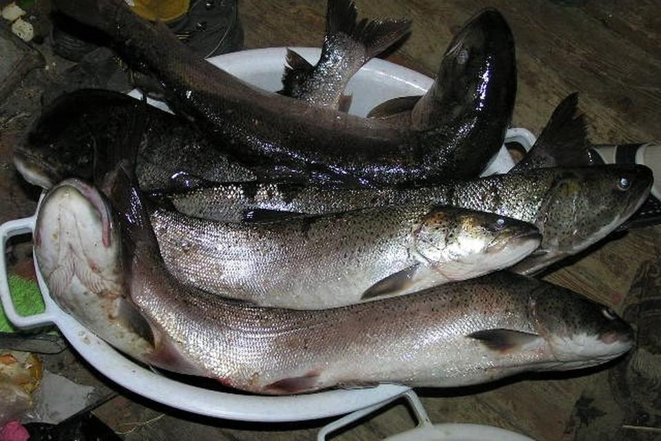 Островитяне попали под уголовную ответственность из-за четырех хвостов лосося