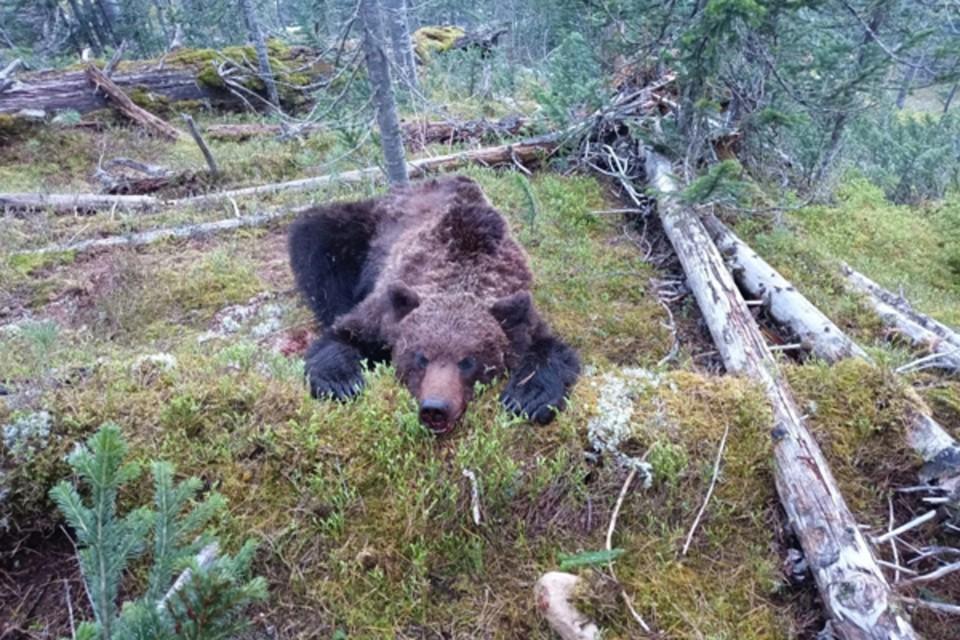 """Тот самый медведь, напавший на туристов фото: природный парк """"Ергаки"""""""