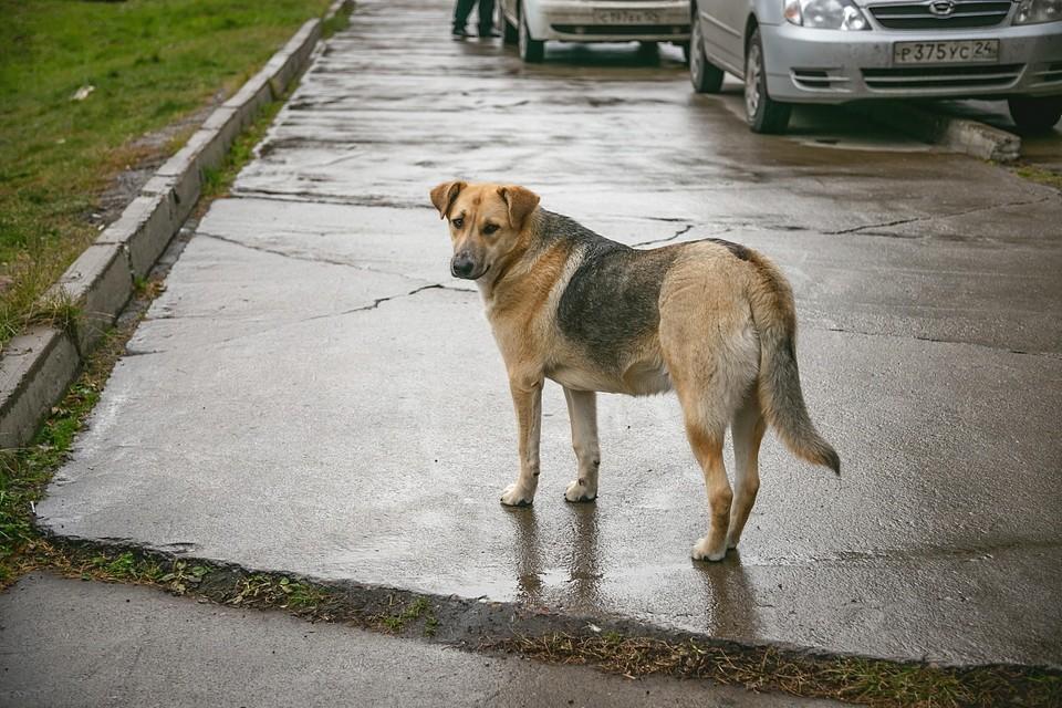 Мужчину растерзали в подъезде бродячие псы, которых прикормила соседка в Красноярске