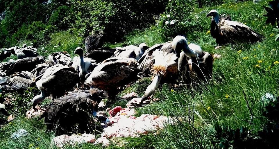 Черные грифы Крыма. Фото: Минприроды РК