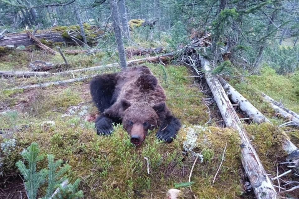 На самом деле медведь-людоед родом из Красноярского края. Фото: природный парк «Ергаки»
