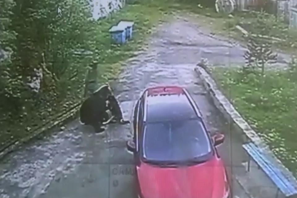 Медведя должны ликвидировать. Фото: скрин видео
