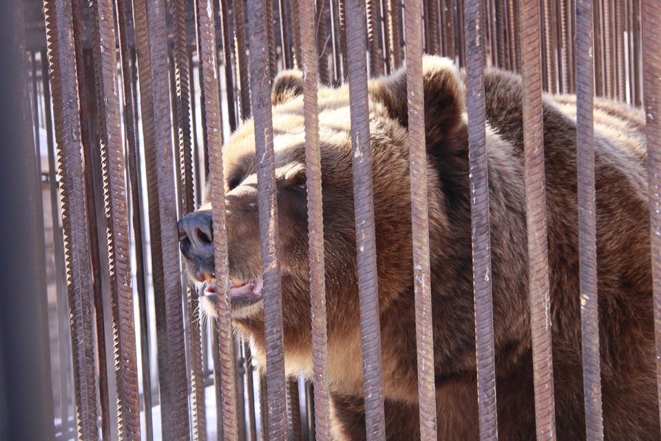 Личинки обнаруживают в каждой второй-третьей туше бурого медведя