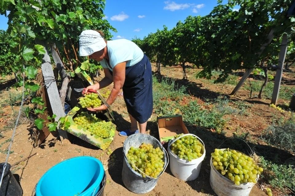 В прошлом году из-за засухи урожай винограда был ниже на 24%. Фото: архив «КП»