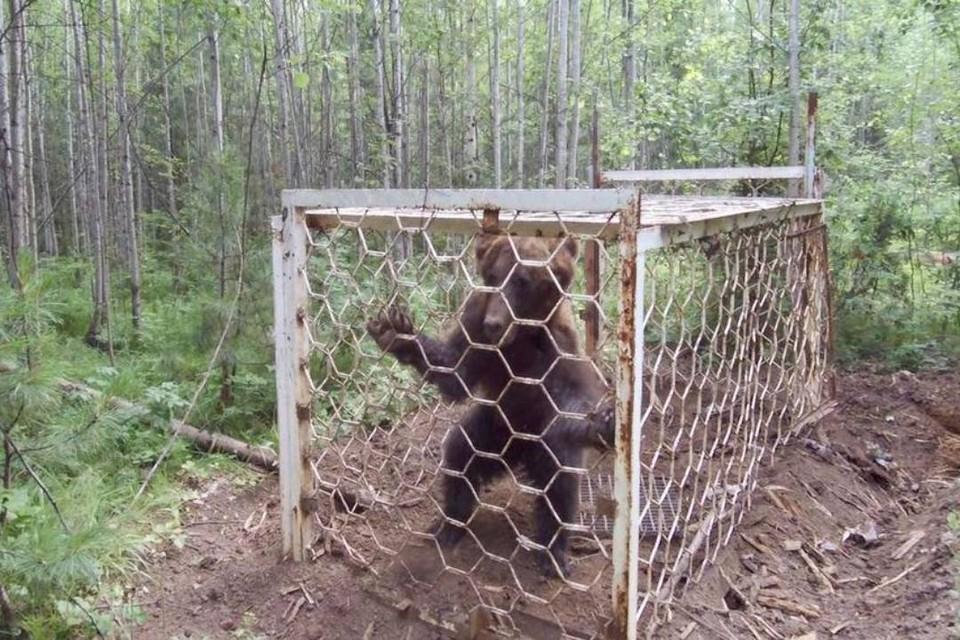 В Усть-Илимском районе выпустили на волю пойманного в ловушку браконьерами медведя
