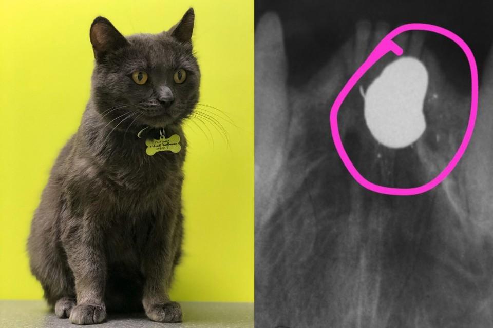 """Мише прострелили челюсть, но ветврачи спасли мордочку кота. Фото: предоставлено ветклиникой """"Ноев Ковчег"""""""