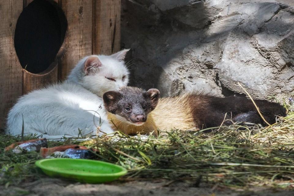 Домашняя кошка выкармливает малышей-харзят. Фото: Владимир Габов