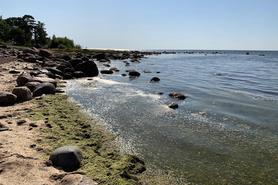 Водоемы Петербурга покрылись опасными сине-зелеными водорослями.