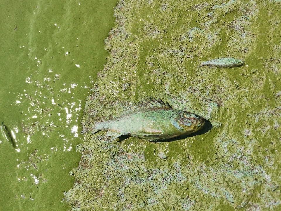"""В Самарской области наблюдается массовая гибель рыб. Фото - паблик """"Черное Белое ТОЛЬЯТТИ"""""""