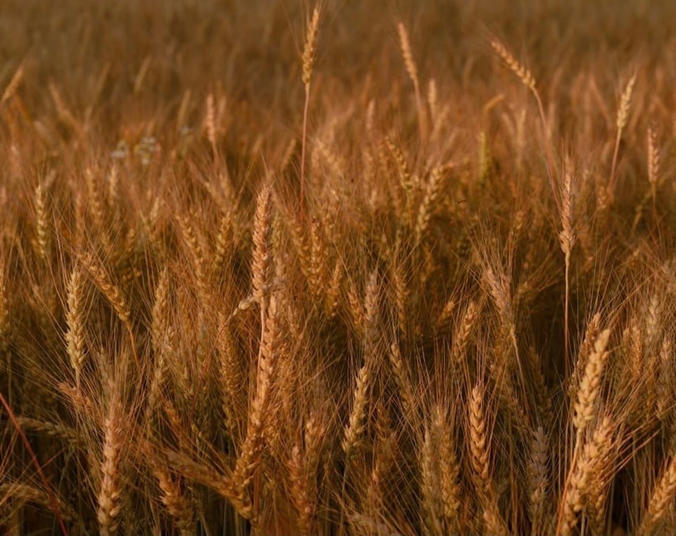 Сбор зерновых культур начался раньше из-за аномальной жары в Смоленской области. Фото: пресс-служба администрации Смоленской области.