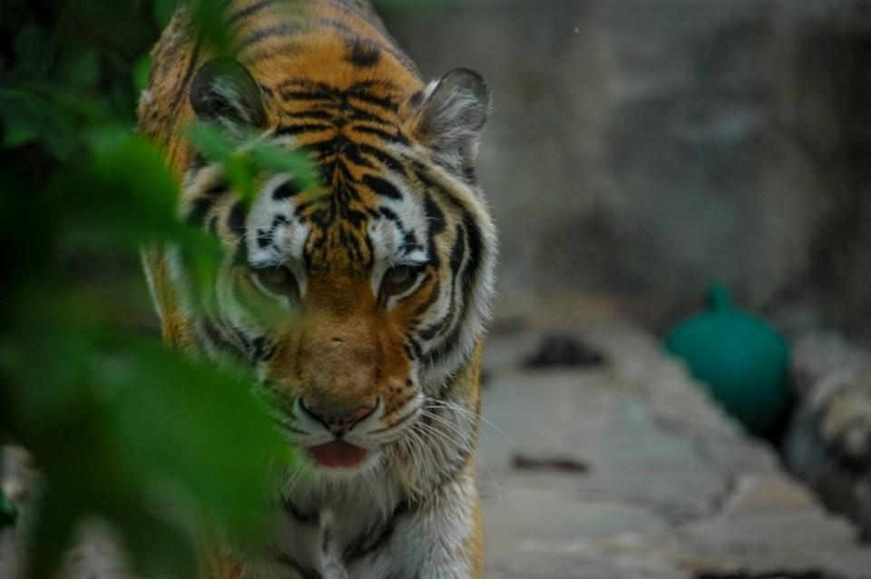 Цель краснокнижного кота - собаки, которых он убивает, утаскивает в тайгу и съедает