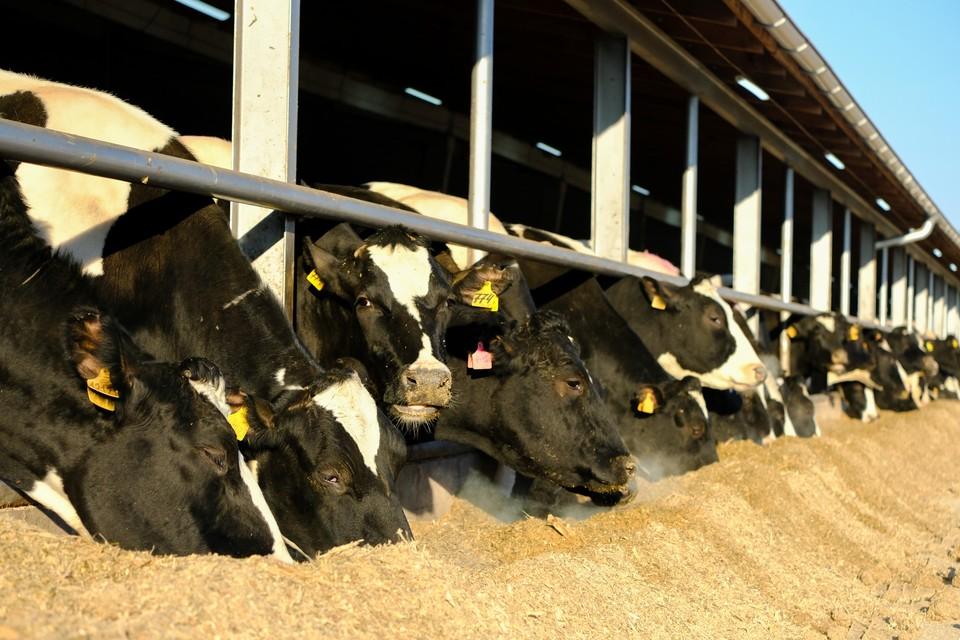 Двух коров и бычка украли в Красном Селе на мясо.
