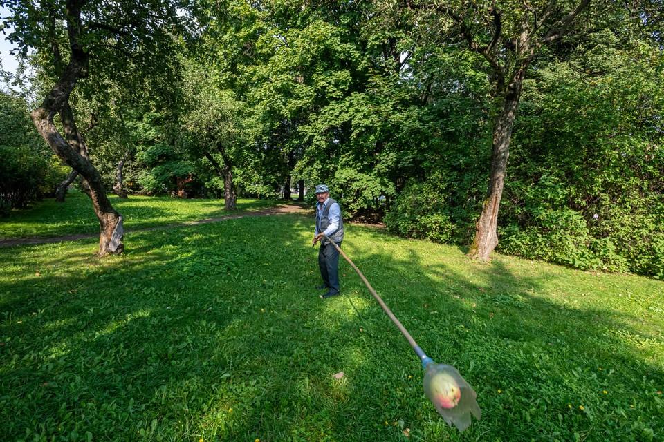 Пенсионер Анатолий Крычев собирает яблочки в музее-заповеднике «Коломенское» для варенья.