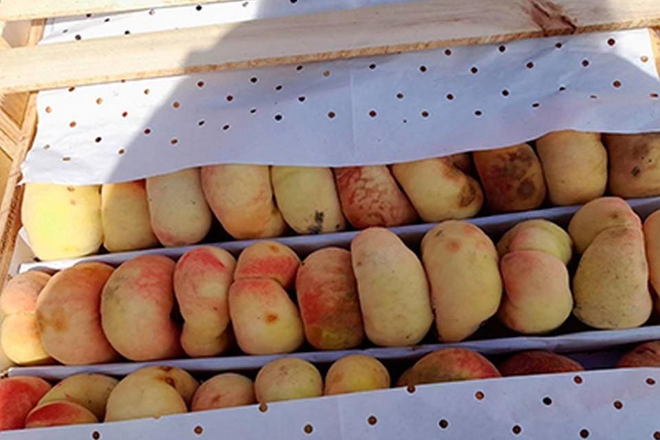 В Красноярске на рынке нашли опасные персики. Фото: пресс-служба краевого Россельхознадзора
