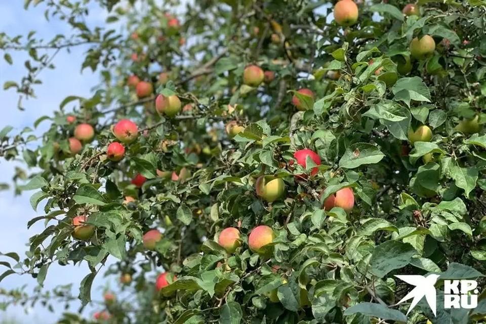 В этом году яблоки уродились знатно.