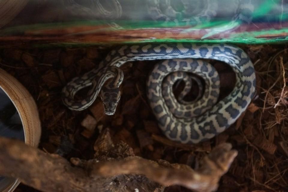 Змея предпочитает прятаться в различных камнях. Фото: Архив «КП»