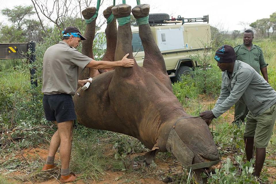 Ученые для расселения носорогов все чаще используют летательные аппараты. Фото: Робин Рэдклифф