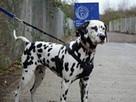 В Лондоне потерявшийся долматин самостоятельно доехал до собачьего приюта